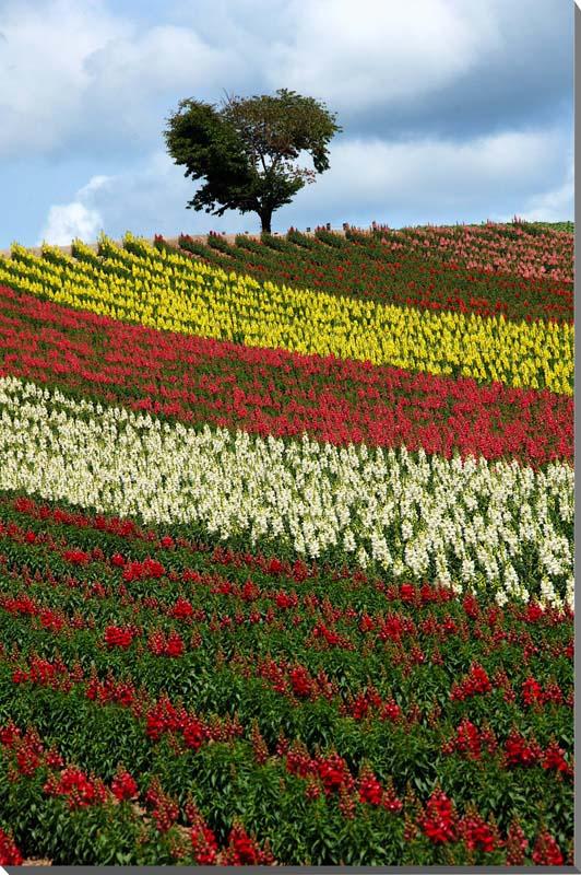 北海道美瑛四季彩的山冈花圃风景照片面板72.8*51.5cm hok-33-b2