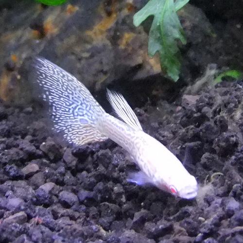热带观赏鱼国内孔雀鱼重构种族眼镜蛇 1 公关