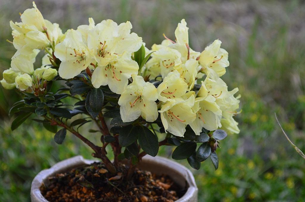 黄色的花蕊 len 国王杜鹃树会在春天绽放的美丽的黄色花朵