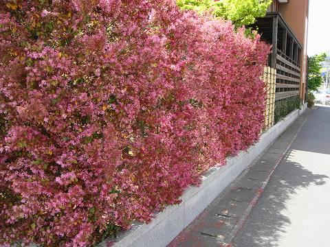 维垹�nzy��NYH_红叶红花檵长度 1 m 民树篱设置树常绿的树篱眼罩灌木