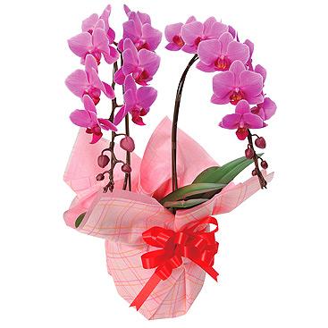 【送料無料】 ミディ胡蝶蘭 (ウエディングプロムナード) 2本立 【楽ギフ_メッセ】 バレンタイン 愛妻の日 卒業祝い 卒園祝い 卒業 卒園 就職祝い