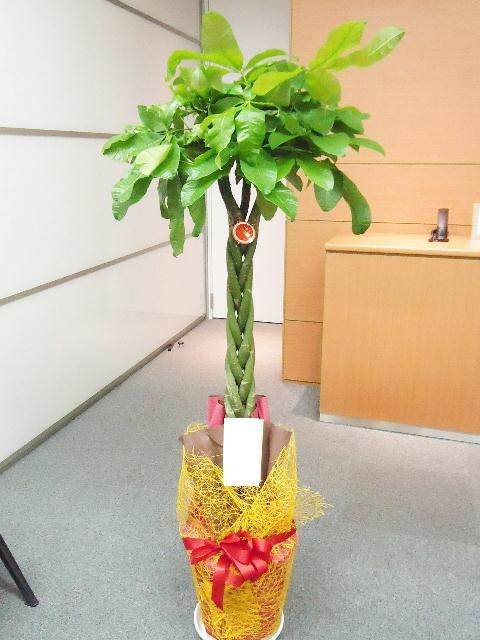 観葉植物 パキラ~記念樹~ 150cm 10000円税込