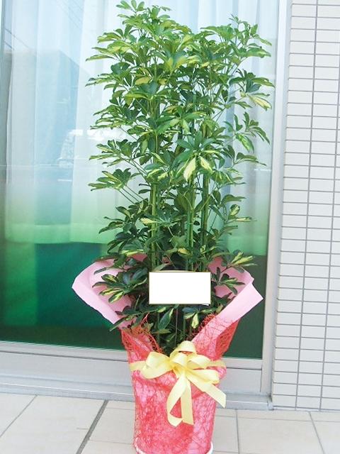 観葉植物 カポック 160cm 12000円税込