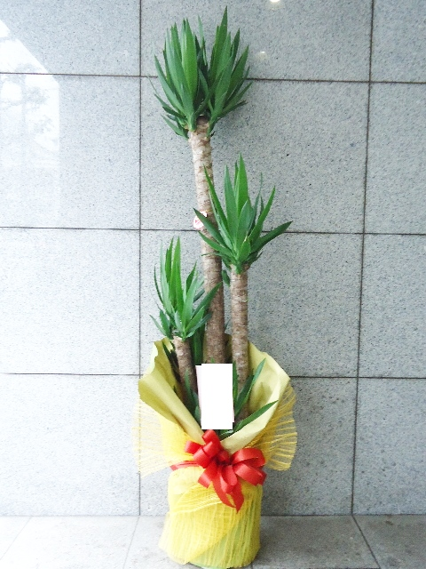 観葉植物 ユッカ 170cm 13200円税込