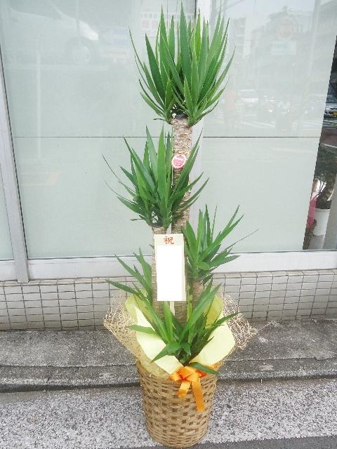 観葉植物 ユッカ かご付 175cm 14000円税込