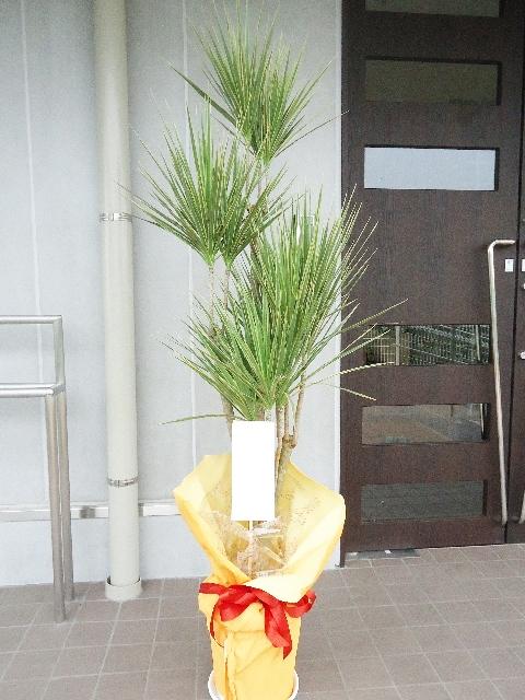 観葉植物 コンシンネ 180cm 16000円税込