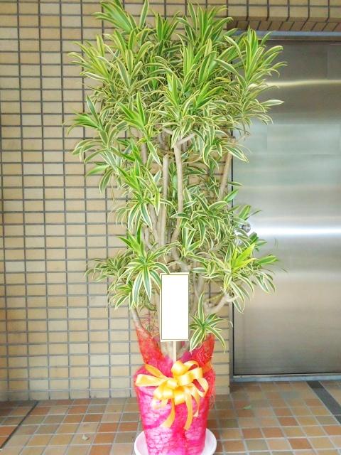 観葉植物 ソングオブインディア 170cm 18000円税込