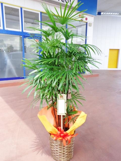 棕櫚竹 かご付 170cm 18000円税込
