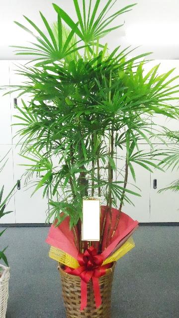 棕櫚竹 180cm 22000円税込