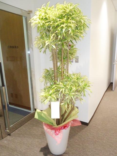 観葉植物 ソングオブインディア 190cm 29000円税込