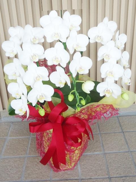 ミディ コチョウラン鉢 ホワイト 3本立ち 10800円税込