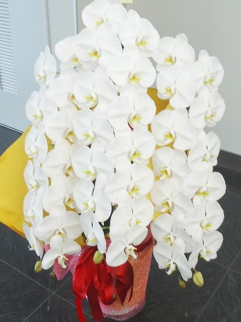 コチョウラン鉢 ホワイト 3本立ち 30000円税込