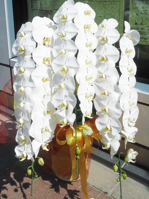 コチョウラン鉢 ホワイト 3本立ち 36500円税込
