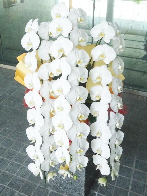 【海外限定】 コチョウラン鉢 ホワイト 3本立ち 43000円税込:飯島生花店-花・観葉植物