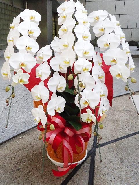 コチョウラン鉢 ホワイト 5本立ち 45000円税込