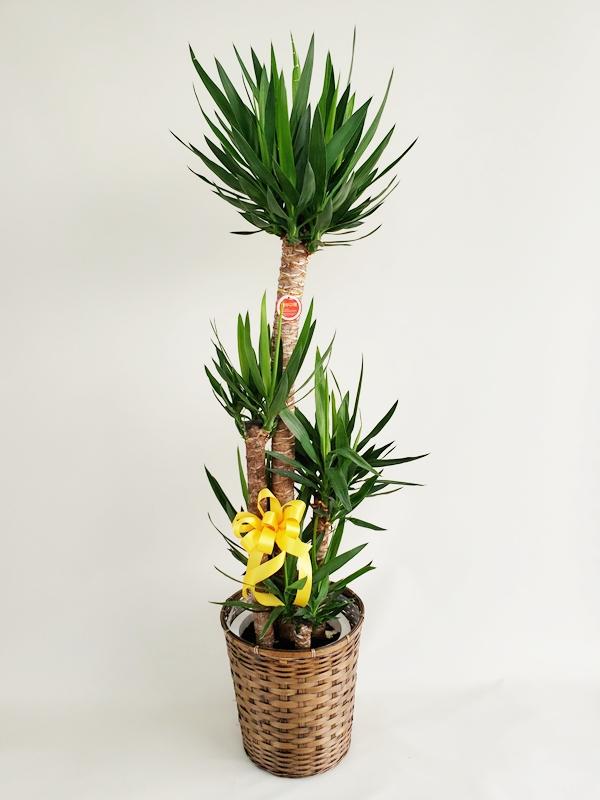 観葉植物 ユッカ~青年の木~ 10号カゴ付き 高さ170cm 15500円税込
