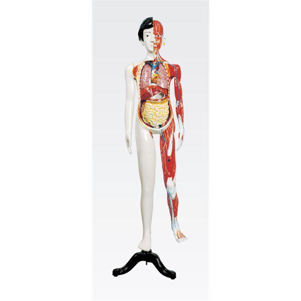 【マラソンでポイント最大43倍】人体解剖模型 【女/137cm・31分解】 J-106-1【代引不可】
