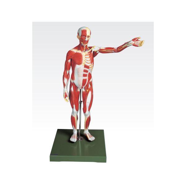 【マラソンでポイント最大43倍】人体筋肉模型 【3分解】 右腕・左腕とりはずし可 J-111-3【代引不可】