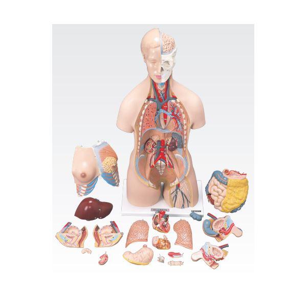 【マラソンでポイント最大43倍】トルソ人体模型/人体解剖模型 【20分解】 J-112-0【代引不可】