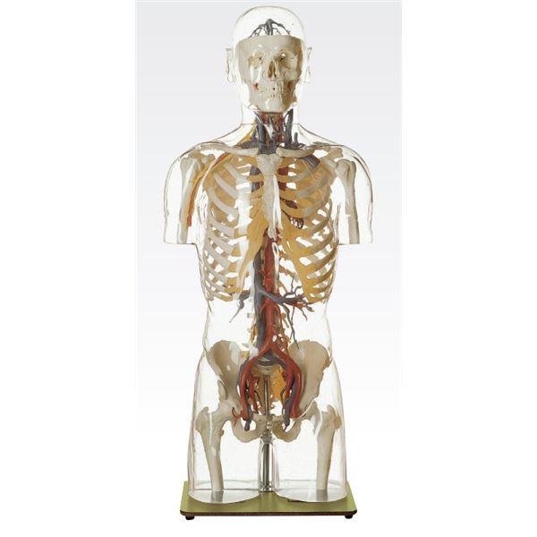 【マラソンでポイント最大43倍】透明トルソ/人体解剖模型 【循環器人体モデル】 等身大 1体型モデル J-113-5【代引不可】