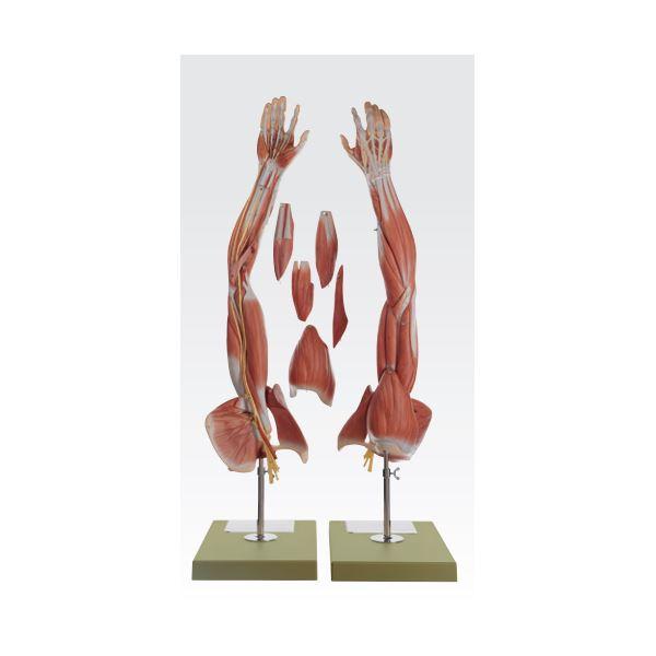 【マラソンでポイント最大43倍】上肢模型/人体解剖模型 【6分解】 等身大 J-114-8【代引不可】