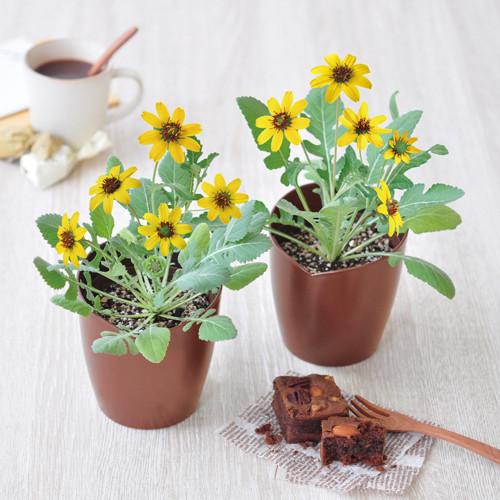チョコレート デイジー 栽培セット 36点