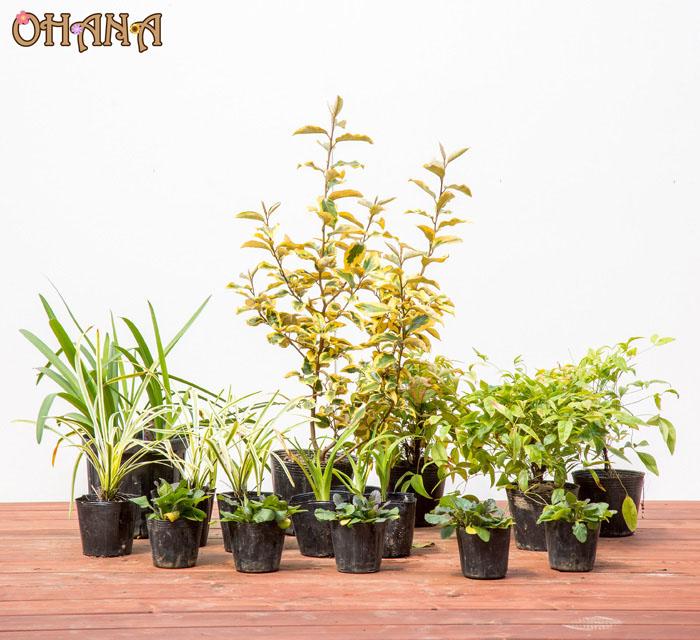 【グミギルトエッジセット】 グミギルトエッジ アガパンサス オタフクナンテン ノカンゾウ フイリヤブラン アジュガ 庭木・植栽セット