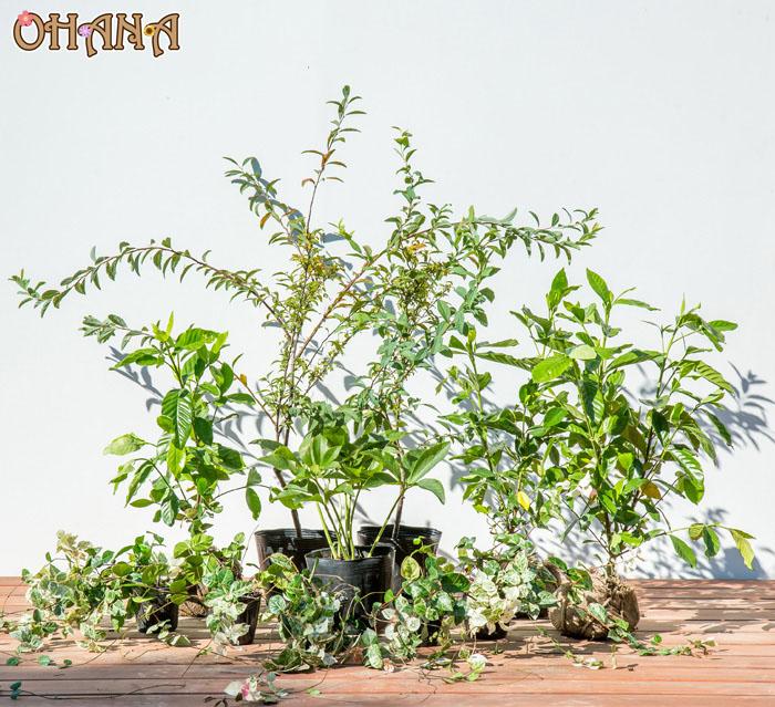 【コデマリ&クチナシセット】 コデマリ/クチナシ/クリスマスローズ/ハツユキカズラ/フッキソウ 庭木・植栽セット
