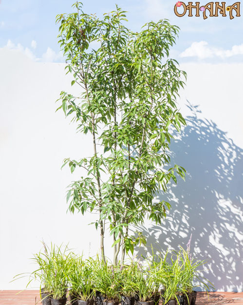 【シラカシセット】 シラカシ/ヤブラン 庭木・植栽セット