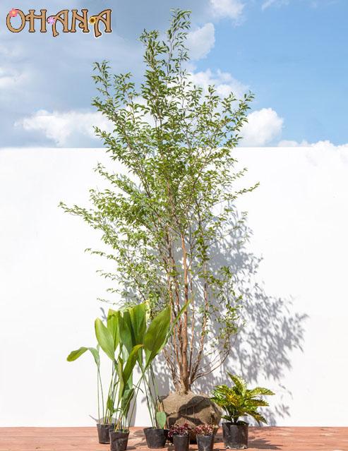 【ヒメシャラセット】 ヒメシャラ株立ち/斑入りアオキ/ハラン/ヒューケラ銅葉 庭木・植栽セット