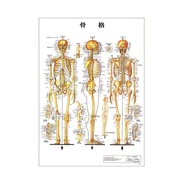 Skeletal death XYZ plastic plates (poster) [human chart medical chart human  poster human anatomy figure human figure manipulative equipment] and under