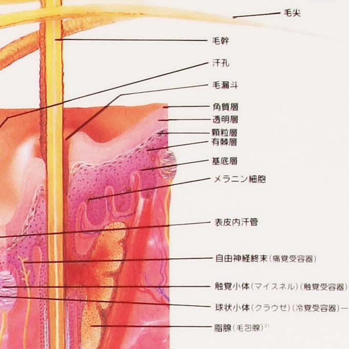 Skin death XYZ plastic plates (poster) [human chart medical chart human  poster human anatomy figure human figure manipulative equipment] and under