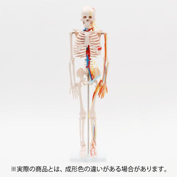 <7ウェルネ>全身骨格模型(主要動脈・静脈・神経付)1/2サイズ 高さ85cm [ 人体模型 骨格模型 骨格標本 骨模型 骸骨模型 人骨模型 骨格モデル 人体モデル ヒューマンスカル 人体 骨格 骸骨 ガイコツ 模型 可動 靭帯 全身模型 教材 実験 整体院 鍼灸院 ][ E-5-5 ][ 7エステ ]
