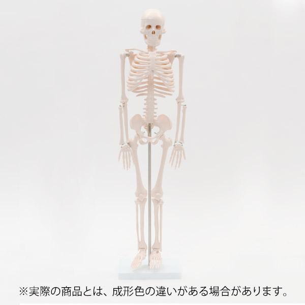 <7ウェルネ>全身骨格模型1/2サイズ 高さ85cm [ 人体模型 骨格模型 骨格標本 骨模型 骸骨模型 人骨模型 骨格モデル 人体モデル ヒューマンスカル 人体 骨格 骸骨 ガイコツ 模型 可動 靭帯 全身模型 教材 実験 整体院 鍼灸院 ][ E-5-5 ][ 7エステ ]