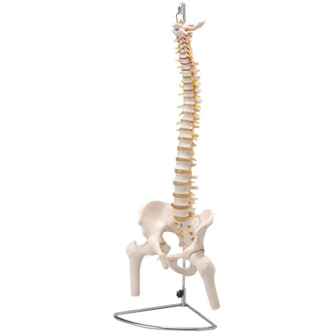 骨格標本 標本 リアル人体模型シリーズ 大腿骨付脊髄帯神経整体模型【送料無料】