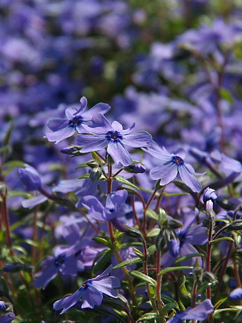 【送料無料】芝桜・シバザクラ(紫/オーキントンブルーアイ)200P