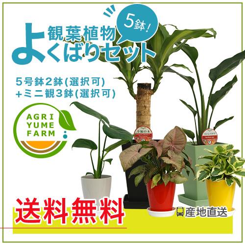 今、観葉植物を欲しいと思っているあなたに♪観葉植物5鉢セットをこの価格で!人気の観葉植物モンステラや幸福の木などをお得にまとめ買い。誕生日のプレゼントにも◎ 観葉植物 よくばりセット|モンステラ/ストレリチア/幸福の木/サンスベリア/観葉植物/新築祝い/開店祝い/誕生日プレゼント/結婚祝い/引越し祝い/観葉植物/モダン/インテリア観葉植物】【smtb-ms】【楽ギフ_メッセ入力】【05P05Nov16】^