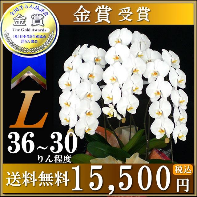 站著蝴蝶蘭白色的大花白色 3 L 8 寸碗禮品開業慶典