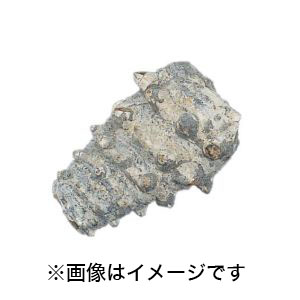 【ケニス KENIS】化石標本 ビカリア(巻貝) 1-147-909