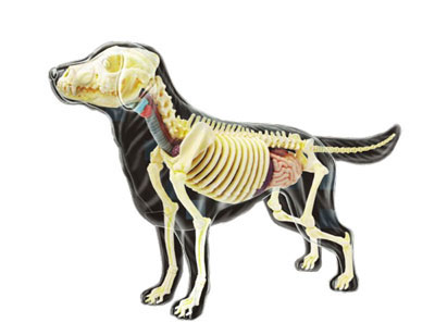 AmiAmi | Rakuten Global Market: 3D Puzzle 4D VISION - Animal Anatomy ...