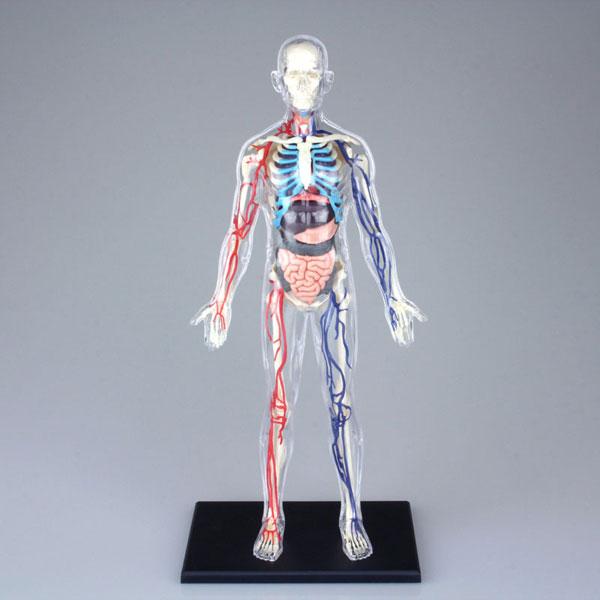 Amiami Rakuten Global Market 3d Puzzle 4d Vision Human Anatomy