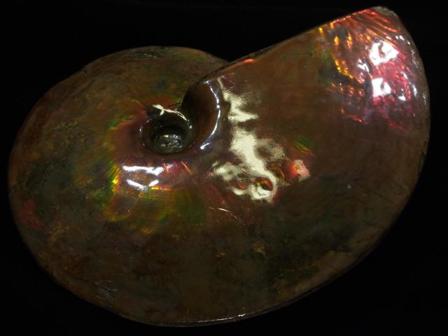 高級な 約7000万年前の神秘が宿る化石宝石の原石 極稀少カナダ産アンモナイト実物レア化石 メーカー公式ショップ アンモライト原石標本