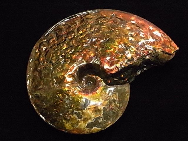 アンモライト原石標本, カホーオンラインショップ:13adb998 --- whoisrobertjohns.com