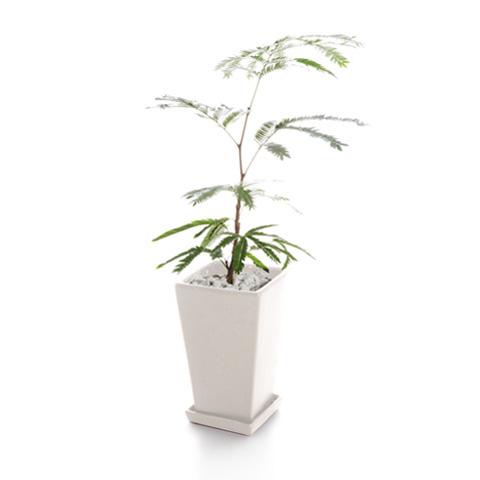 赏叶植物ebafuresshu S