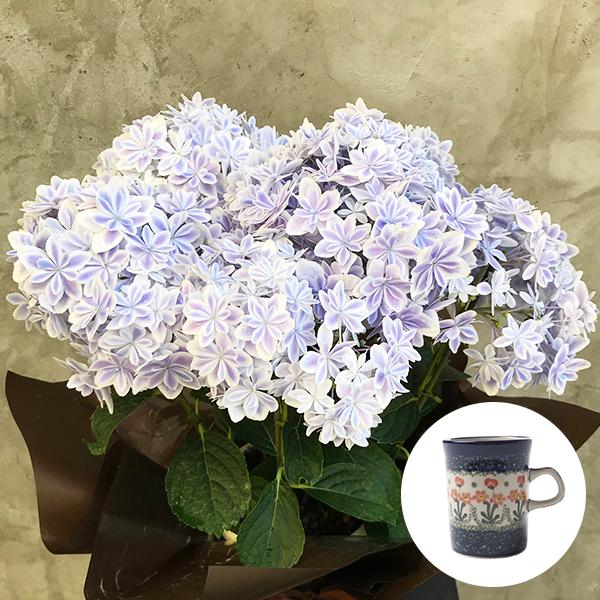 送料無料|2019年母の日限定(5/9~12着) BALANCE FLOWER SHOP アジサイ 万華鏡 (鉢植え)セラミカ パルテール マグカップ付き ※5月6日ご注文まで