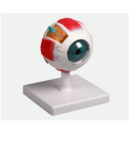 眼球6分解モデル 100×100×120mm