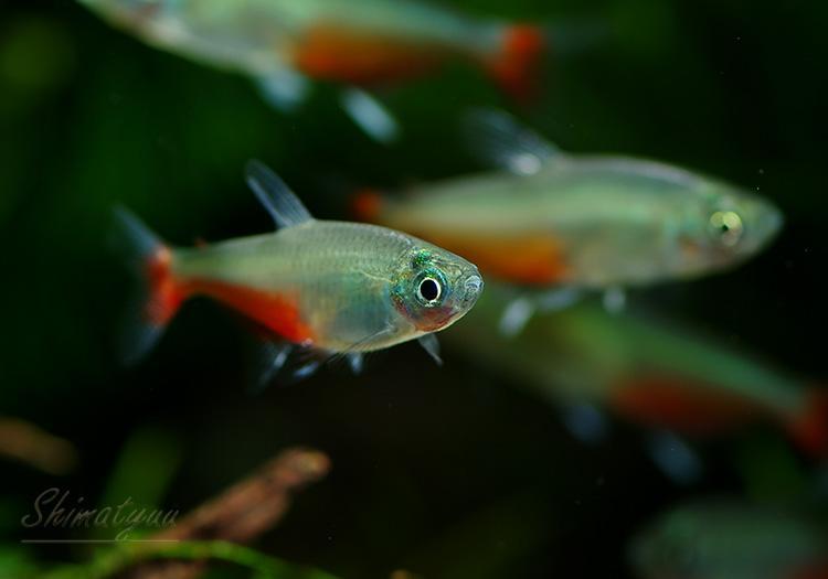 【熱帯魚】グリーンファイヤーテトラ 10匹 神戸店在庫