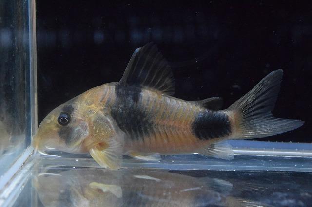 人気 熱帯魚