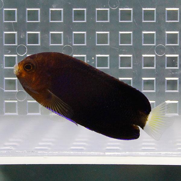 チャイロヤッコ 4-6cm± 海水魚 ヤッコ ギフト 餌付け t111 15時までのご注文で当日発送 正規品送料無料