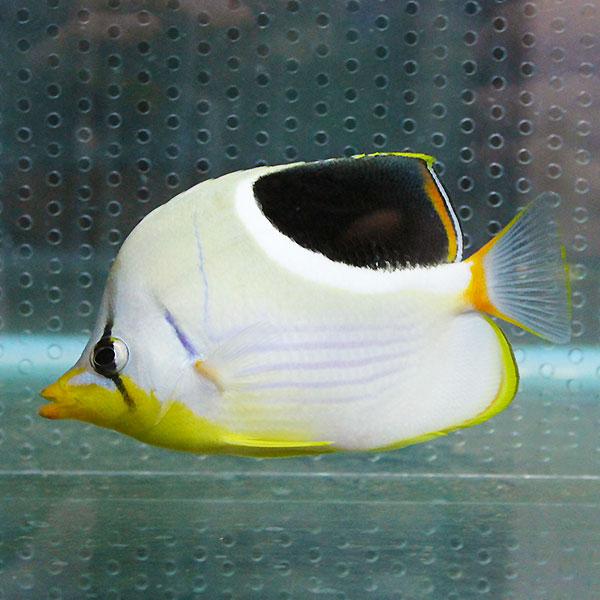 未使用品 セグロチョウチョウウオ 超歓迎された 8-10cm± 海水魚 チョウチョウウオ 15時までのご注文で当日発送 6-8cm± t114